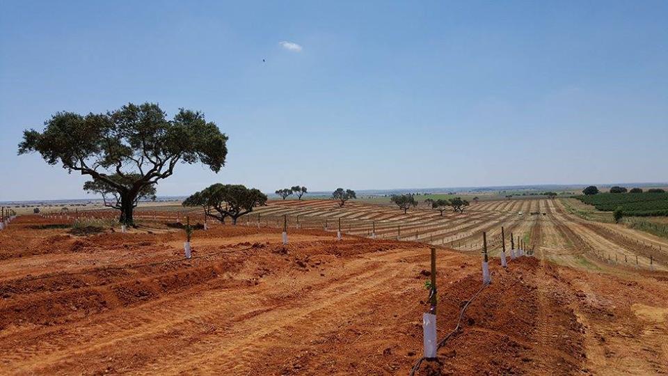 plantaçao amendoeiras