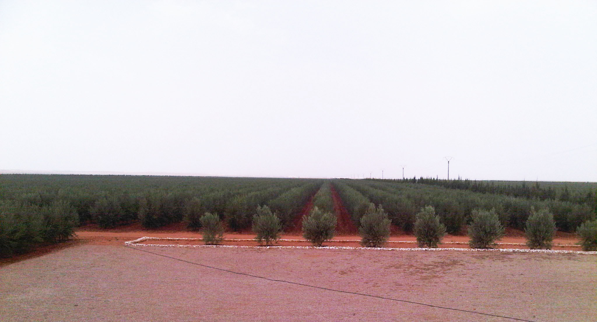 olive%20trees%20mechanized%20planting.jp