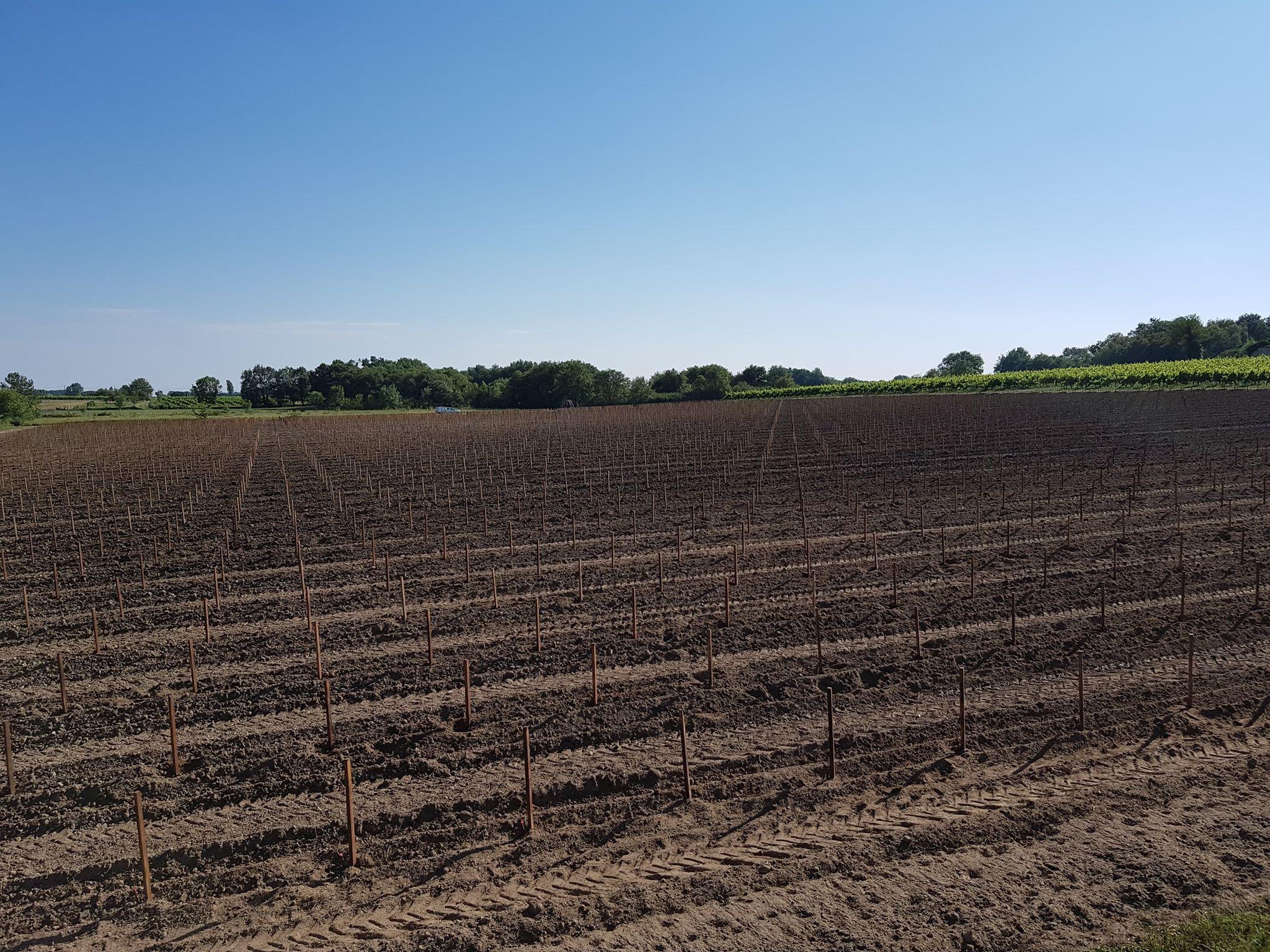 plantações de vinhas