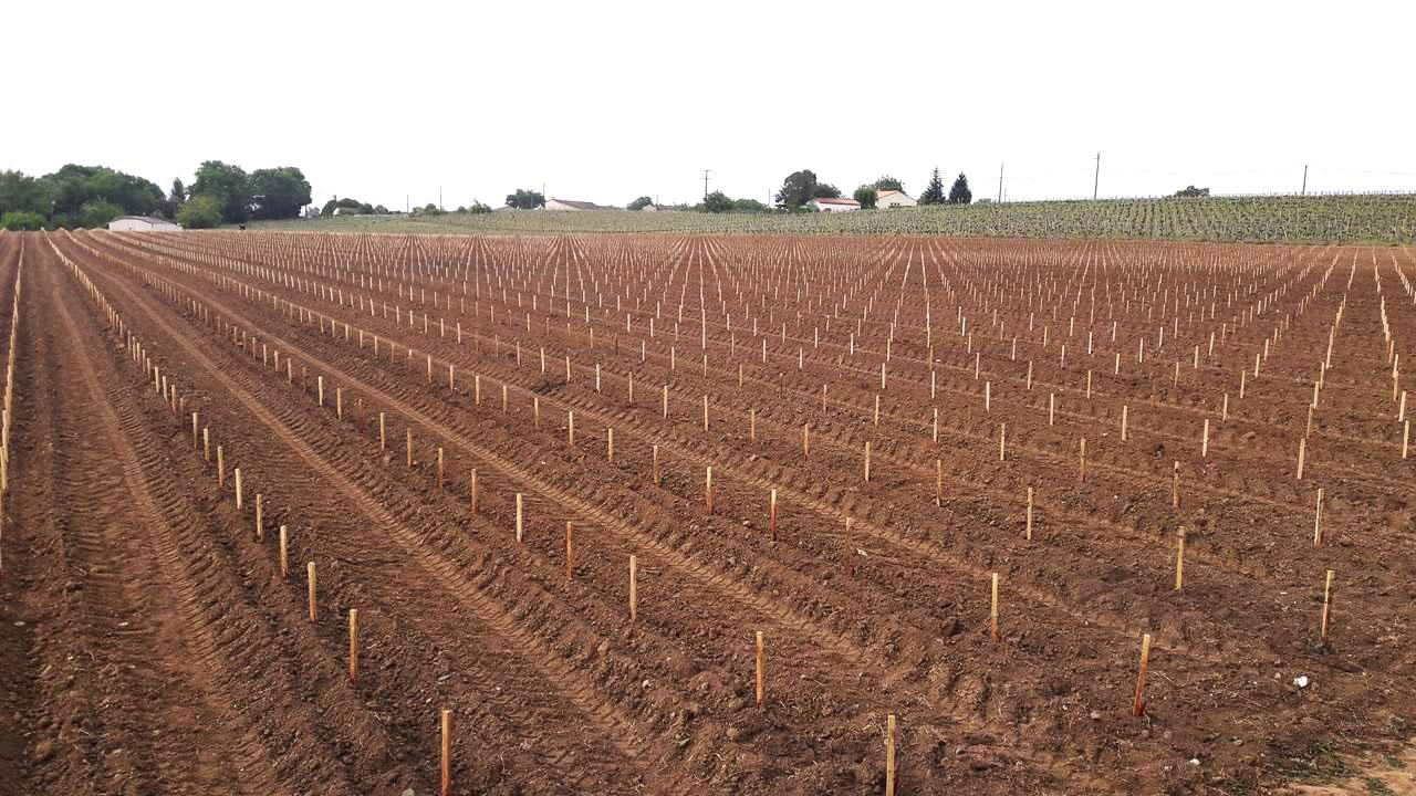 plantação de vinha