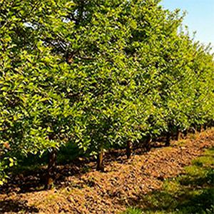 plantação de árvores de fruto