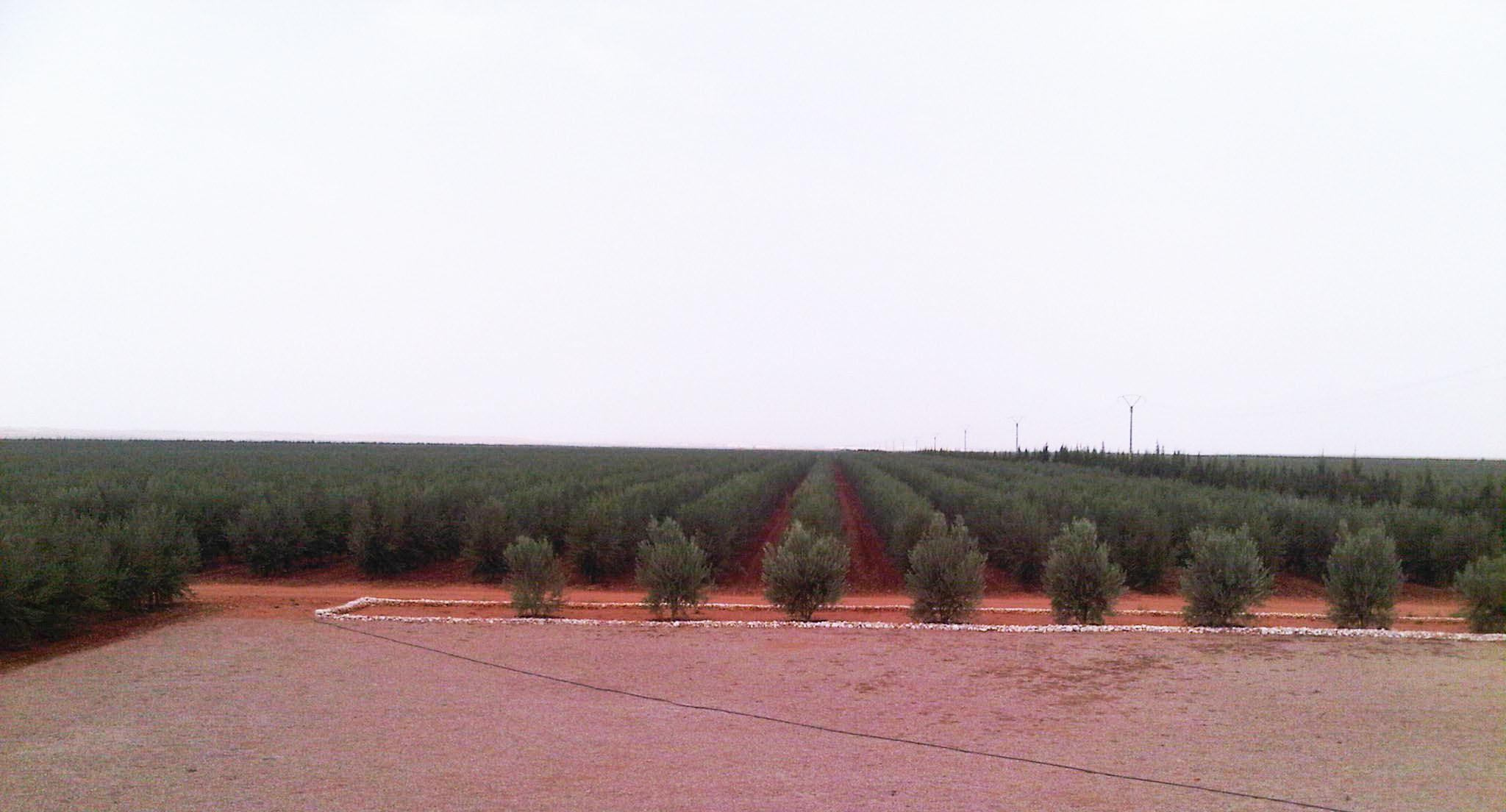 plantation mécanique oliviers 2