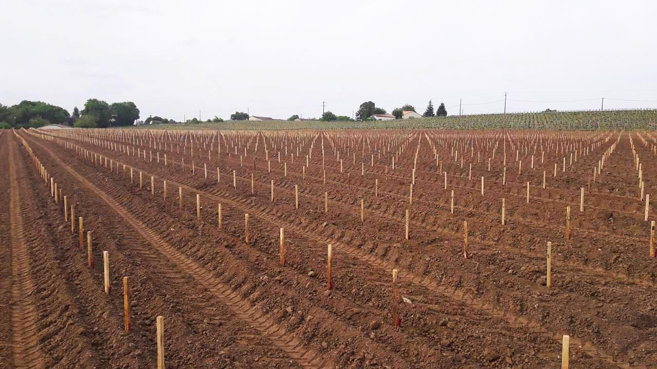 plantation mécanique de vigne