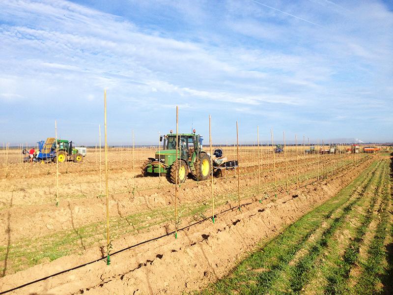 plantation mécanisée oliviers