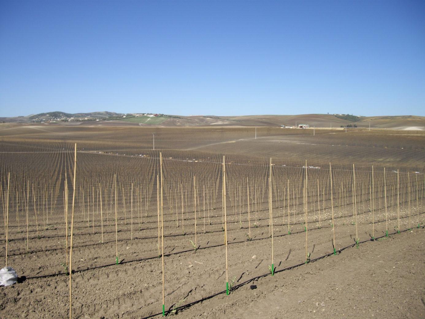 plantation mécanique oliviers